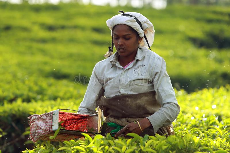 Tamil worker on a tea plantation royalty free stock images