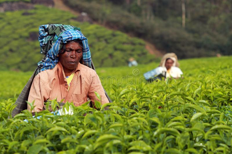 Tamil worker on a tea plantation stock photography
