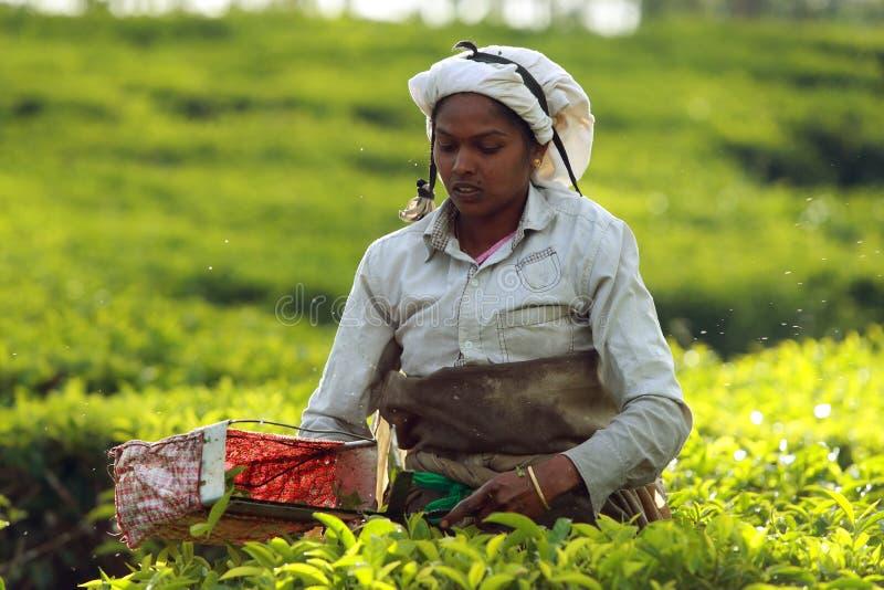Tamilarbetare på en tekoloni royaltyfria bilder