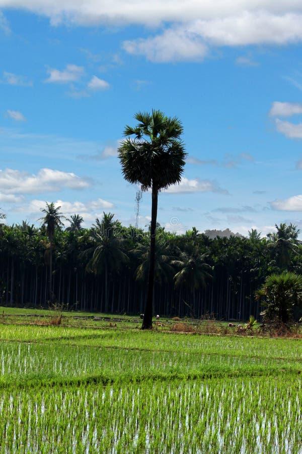 TamilNadu Palm royalty-vrije stock afbeeldingen