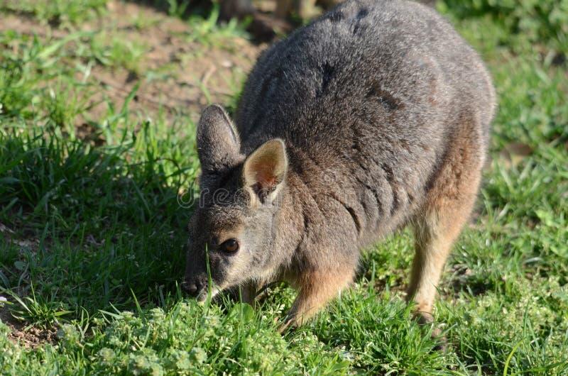 tammar wallaby стоковое фото