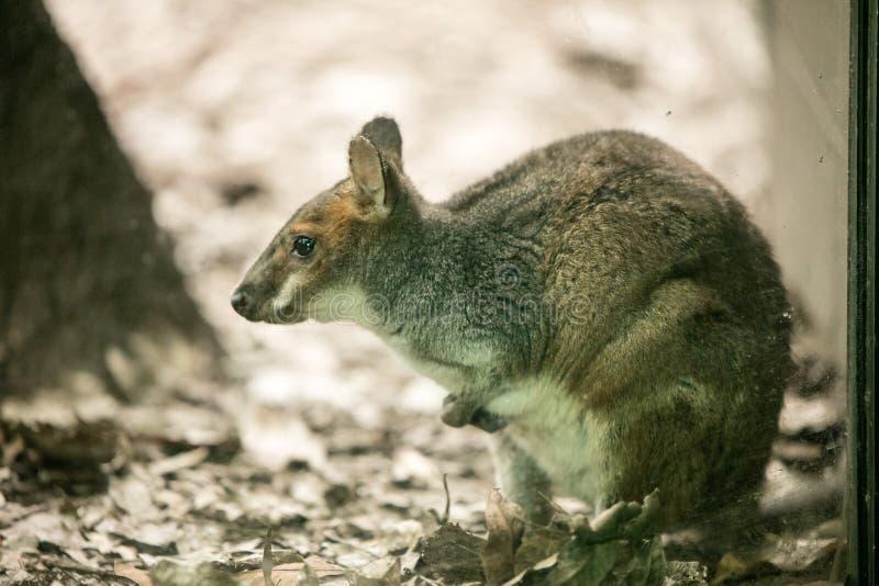 Tammar Wallaby przy przyrodą Sydney zdjęcie royalty free