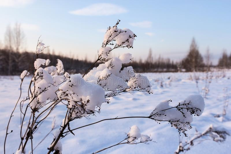 Tampões da neve na planta fotografia de stock royalty free