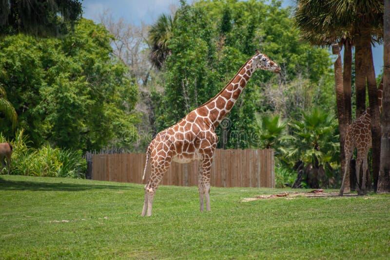 Nice Giraffe on green meadow at Busch Gardens 2. Tampa Bay , Florida. July 12, 2019 . Nice Giraffe on green meadow at Busch Gardens 2 stock photography
