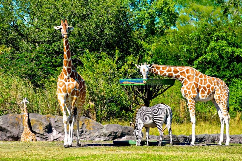 Giraffes and zebra feeding, while antelope walks at Bush Gardens Tampa Bay. Tampa, Florida. December 26, 2018 .Giraffes and zebra feeding, while antelope walks stock image