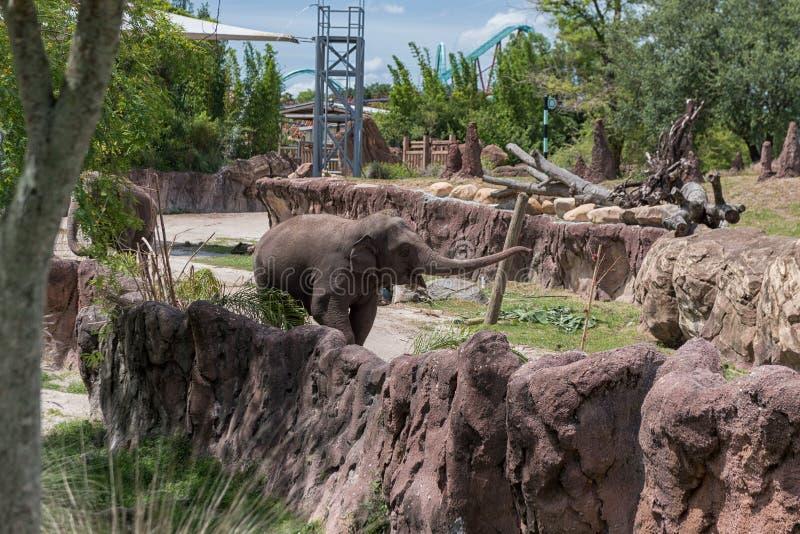 TAMPA FLORIDA - MAJ 05, 2015: Elefant i Busch trädgårdar Tampa Bay Florida royaltyfria bilder