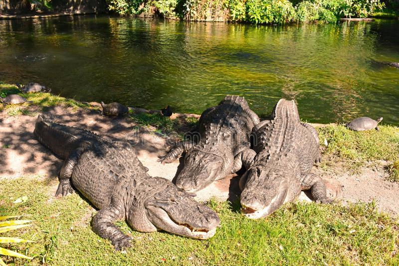 Alligators relaxing on the side of a lagoon at Bush Gardens Tampa Bay. royalty free stock photos