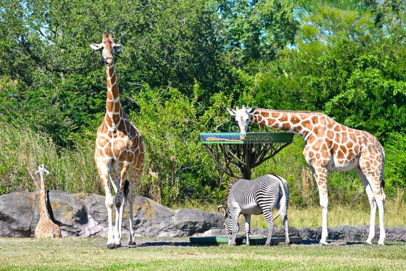 Giraffes and zebra feeding, while antelope walks at Bush Gardens Tampa Bay. Tampa, Florida. October 25, 2018 .Giraffes and zebra feeding, while antelope walks royalty free stock photography
