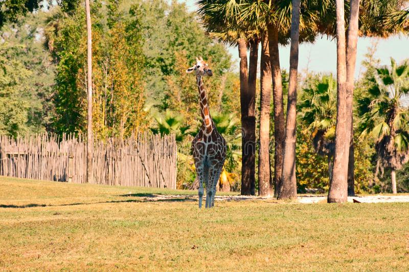 Nice giraffe with shocking height on green meadow at Bush Gardens Tampa Bay. Tampa, Florida. October 25, 2018. Nice giraffe with shocking height on green meadow stock photos