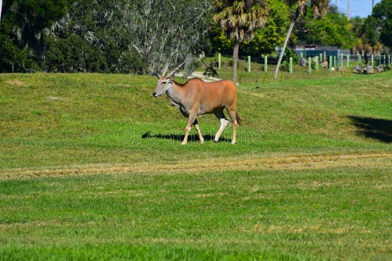 Sable antelopes walking on african similar scenery at Bush Gardens Tampa Bay royalty free stock photo