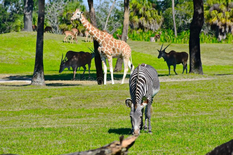 Zebra, Giraffe and antelopes on green meadow at Bush Gardens. Tampa, Florida. October 25, 2018. Zebra, Giraffe and antelopes on green meadow at Bush Gardens royalty free stock images