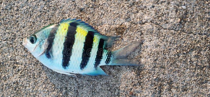 tampan рыбы стоковые изображения rf