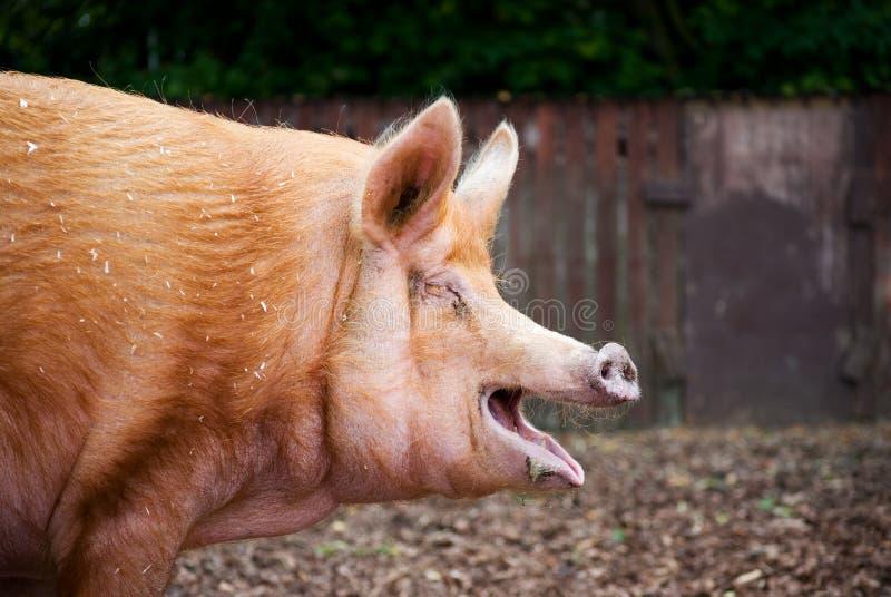Tamworth pig royalty free stock photography
