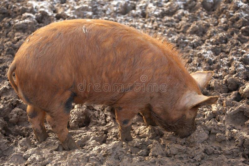 Pig Tamworth Stock Photos Download 71 Royalty Free Photos