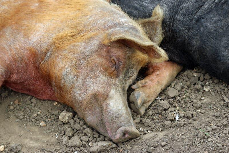 Tamworth- und Essex-Sattelschweine lizenzfreies stockbild