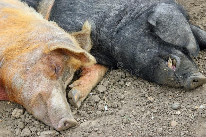 Tamworth- und Essex-Sattelschweine stockfotografie
