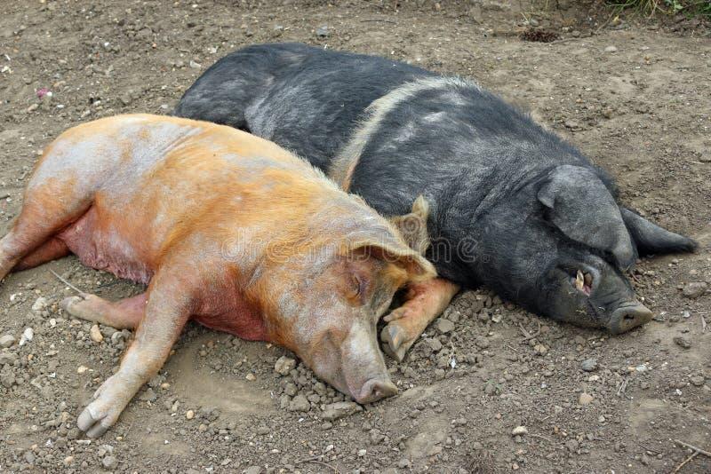 Tamworth- und Essex-Sattelschweine lizenzfreie stockfotografie