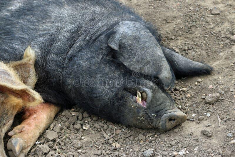 Tamworth- und Essex-Sattelschweine lizenzfreies stockfoto