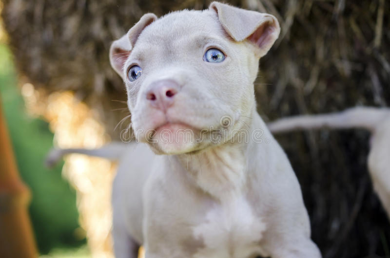 Tan American Pit Bull Puppy with blue eyes royalty free stock image