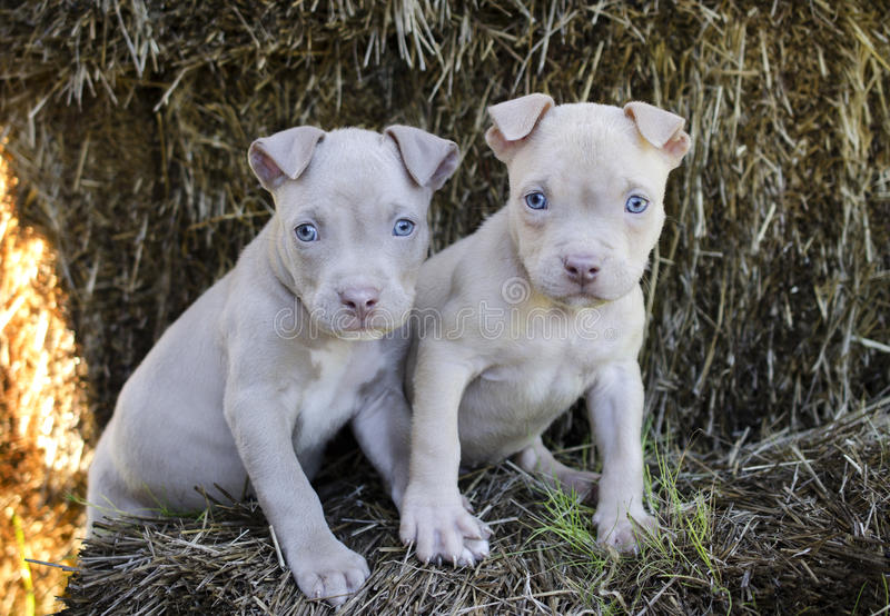 Tan American Pit Bull Puppy with blue eyes royalty free stock images