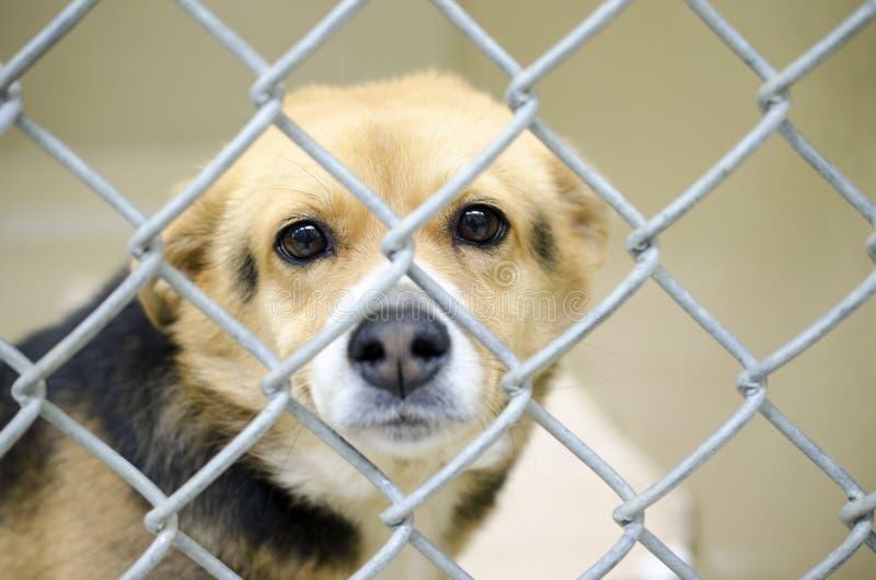 Tan Beagle-Mischungshund im Kettengliedhundehütten-Hundepfund lizenzfreie stockfotos