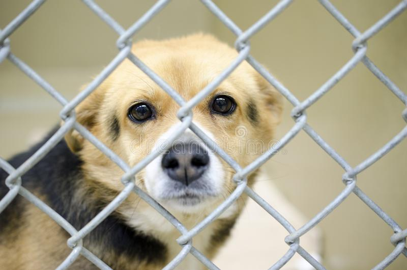 Tan Beagle mix dog in chain link kennel dog pound royalty free stock photos
