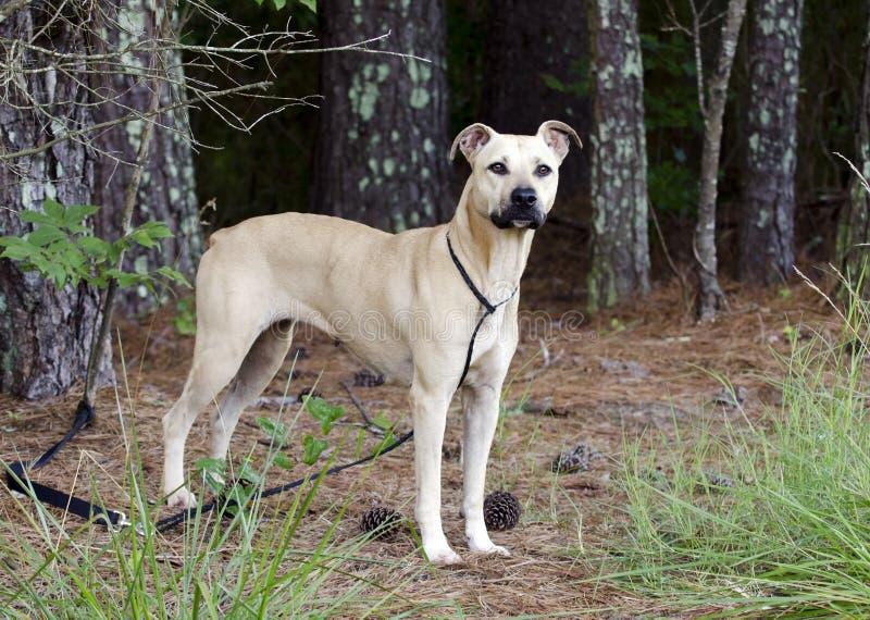 Tan Black Mouth Cur Mastiff mezcló el perro de la raza imagenes de archivo