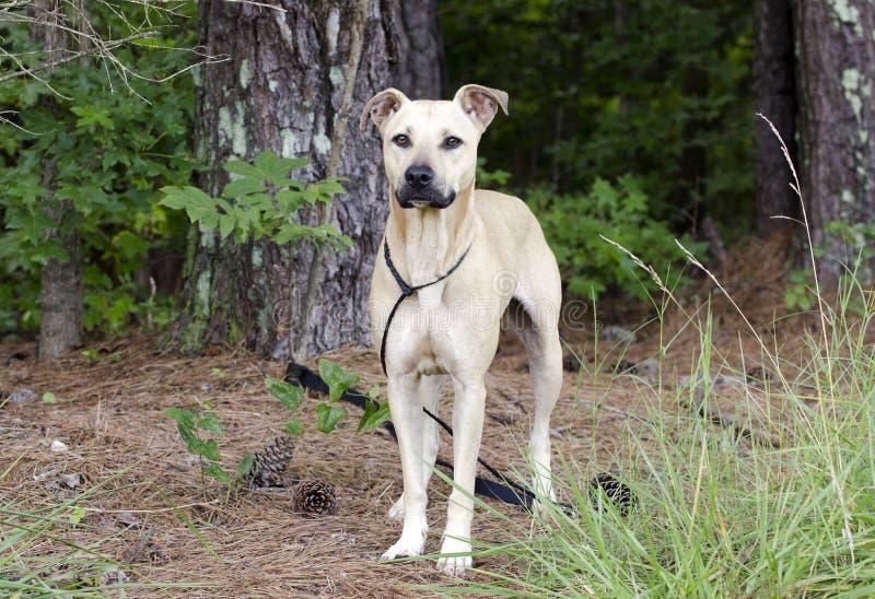 Tan Black Mouth Cur Mastiff misturou o cão da raça imagens de stock royalty free