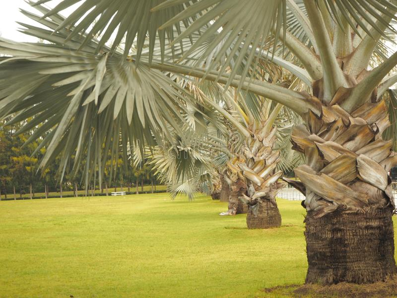 The beauty of the palm tree is nowadays popular garden. stock photos