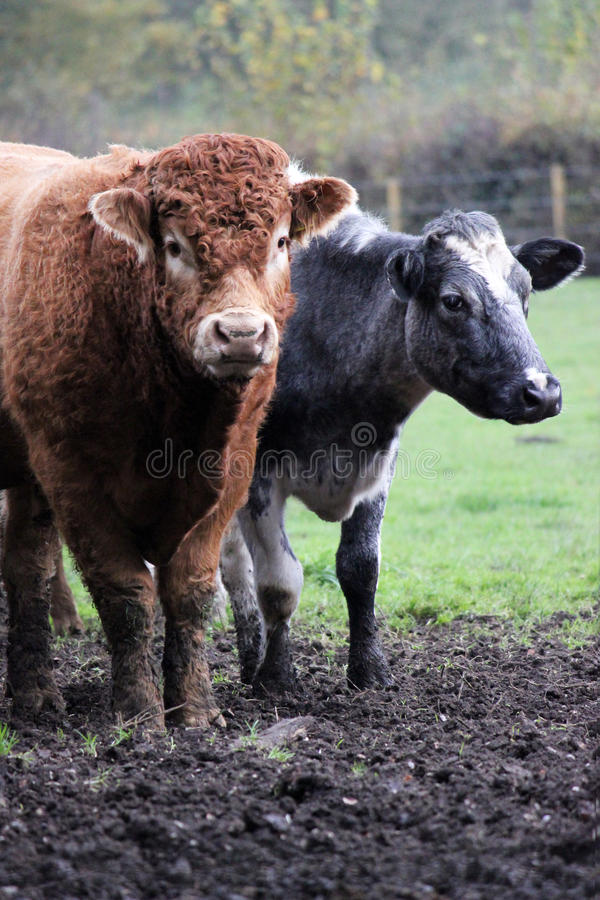 Tan Bull & cow in a muddy & grassy field stock image