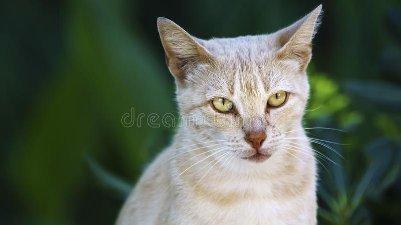 Tan Cat Staring in the Woods. Parque Genoves Cadiz Spain stock photo