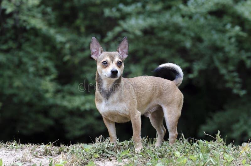 Tan Chihuahua hund arkivfoto