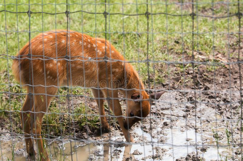 Baby deer caged in a fence at a zoo stock photo