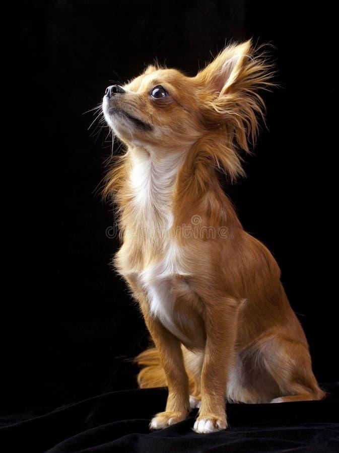 Tan com o cão branco da chihuahua no preto fotografia de stock royalty free
