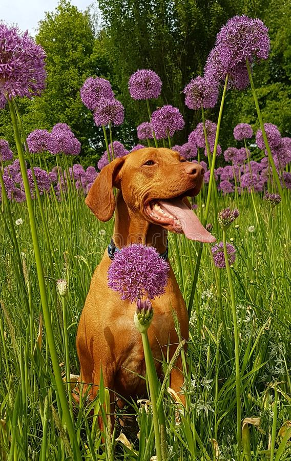 Tan Dog Sits on Flower Field at Daytime royalty free stock image