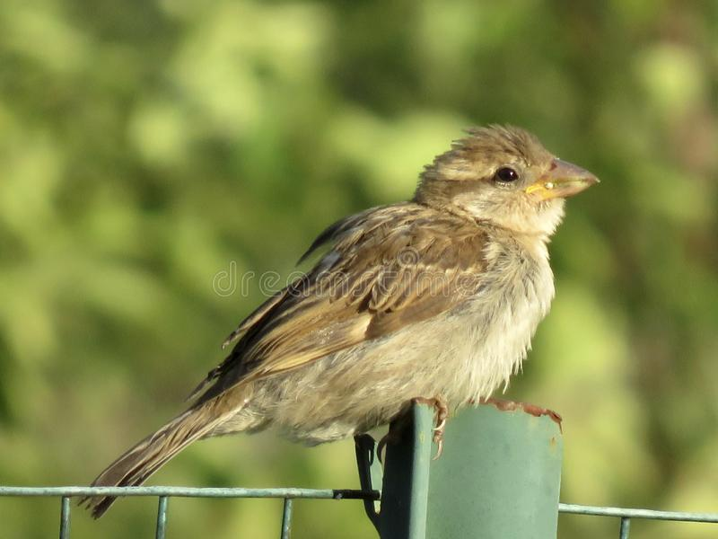 Tan Garden Bird sur un grillage images stock