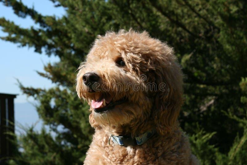 Tan Golden Noodle Dog Panting photographie stock libre de droits