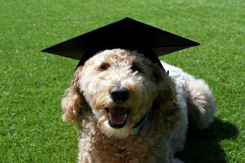 Tan Goldendoodle Dog Wearing a Graduation Cap royalty free stock photography