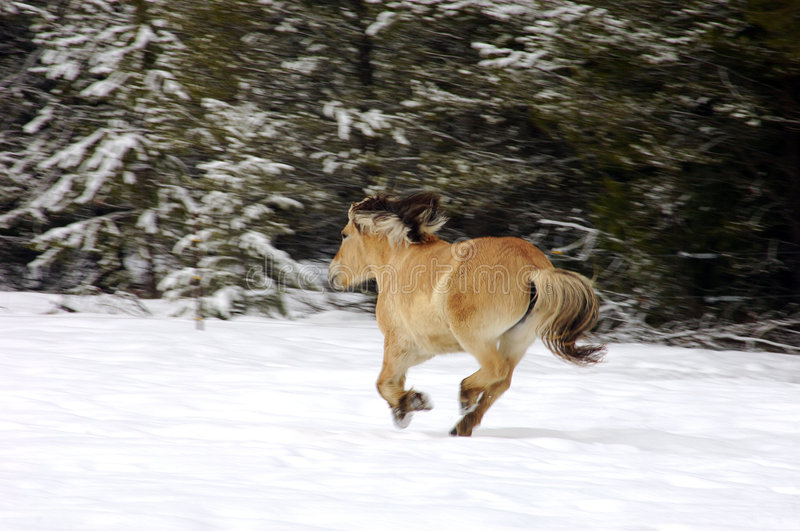 Tan Horse Galloping in Snow royalty free stock photo