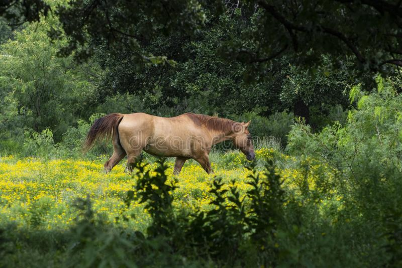 Tan Horse Walking Through Yellow Flowers Framed by Trees stock photo