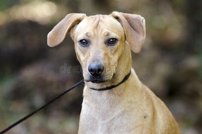 Tan hound cur mixed breed dog. Tan hound cur beagle mixed breed dog with floppy ears on leash. Outdoor Pet Adoption photography for Walton County Animal Control royalty free stock images