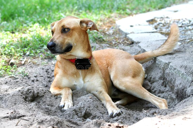Tan mixed breed dog resting in hole royalty free stock photos