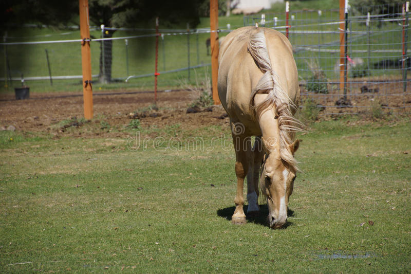 Tan palomino horse grazing stock photo