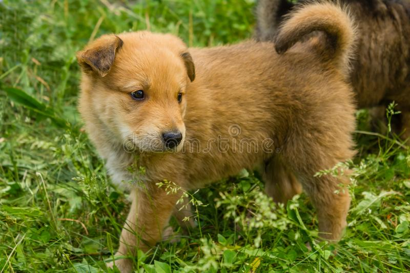 Tan puppy in the grass. Tan puppy with a curly tail and floppy ears standing in the grass royalty free stock photography