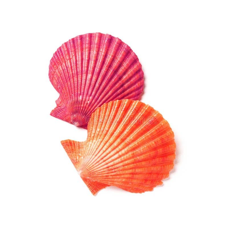 Tan Radial Seashell Isolated fotografering för bildbyråer