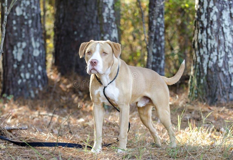American Bulldog Mastiff mix dog stock photos