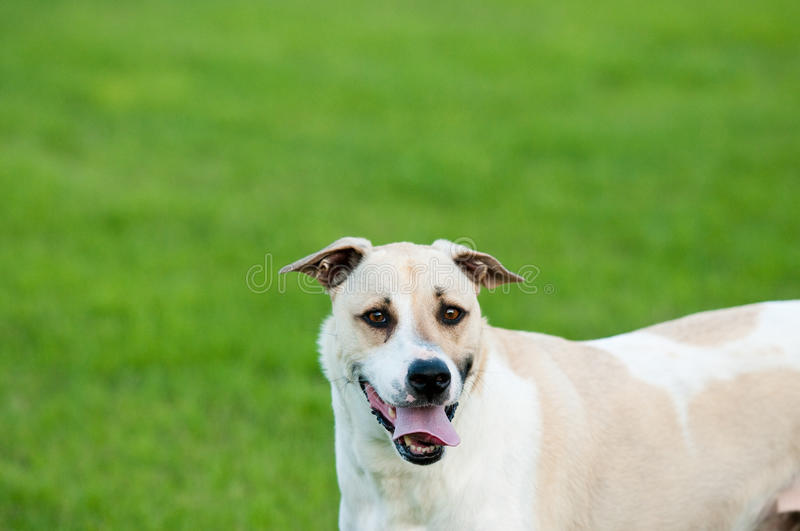Tan and white dog looking silly outdoors with copy space. Large white and tan dog outdoors with floppy ears and tongue sticking out looking funny and silly in stock image