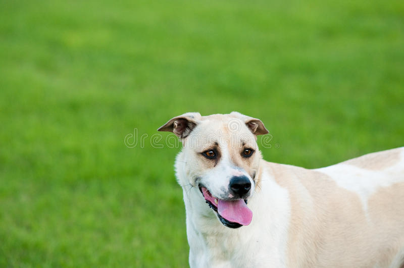 Tan and white dog sticking out tongue with copy space. Large white and tan dog outdoors with floppy ears and tongue sticking out looking happy in green grass stock image