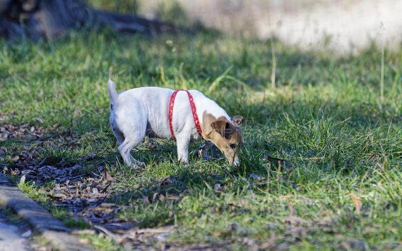 Tan and White Jack Russell Terrier Stand on Green Grass at Daytime royalty free stock images