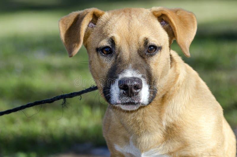 Download Short Legged Tan Mutt Puppy Dog, Georgia USA Stock Image - Image of hound, boxer: 111579197